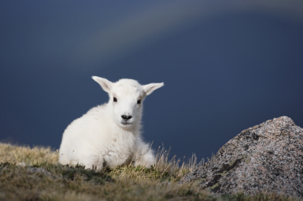 Baby Goat on the Mountain